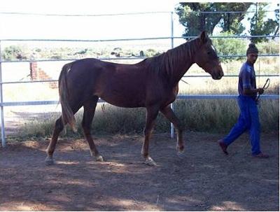 EASY HORSE BONDING YOUNG HORSE